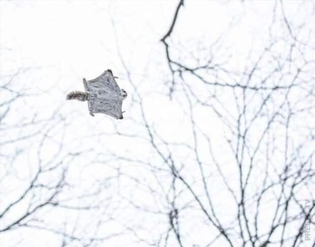 Японские карликовые белки-летяги