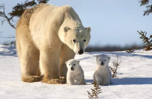 Самый опасный из медведей