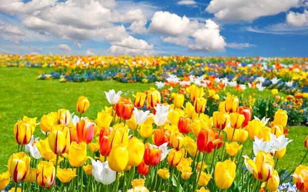 Сезон тюльпанов в Голландии
