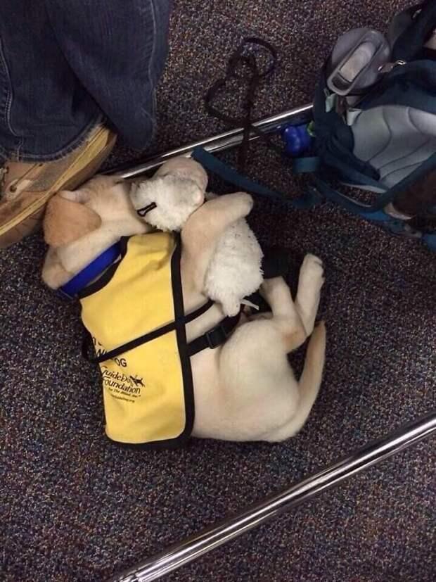Щенки и их первый день на службе животные, служебные собаки, собаки