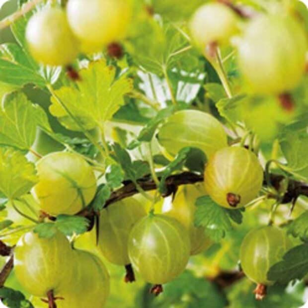 Как удобрять плодовые кустарники весной