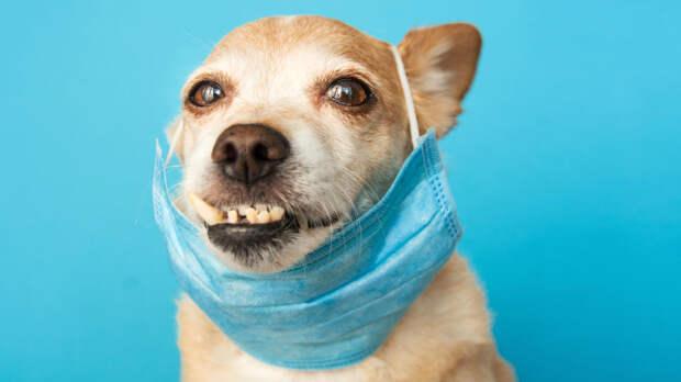 Ученые выяснили, что собаки могут учуять COVID-19 с точностью до 96%