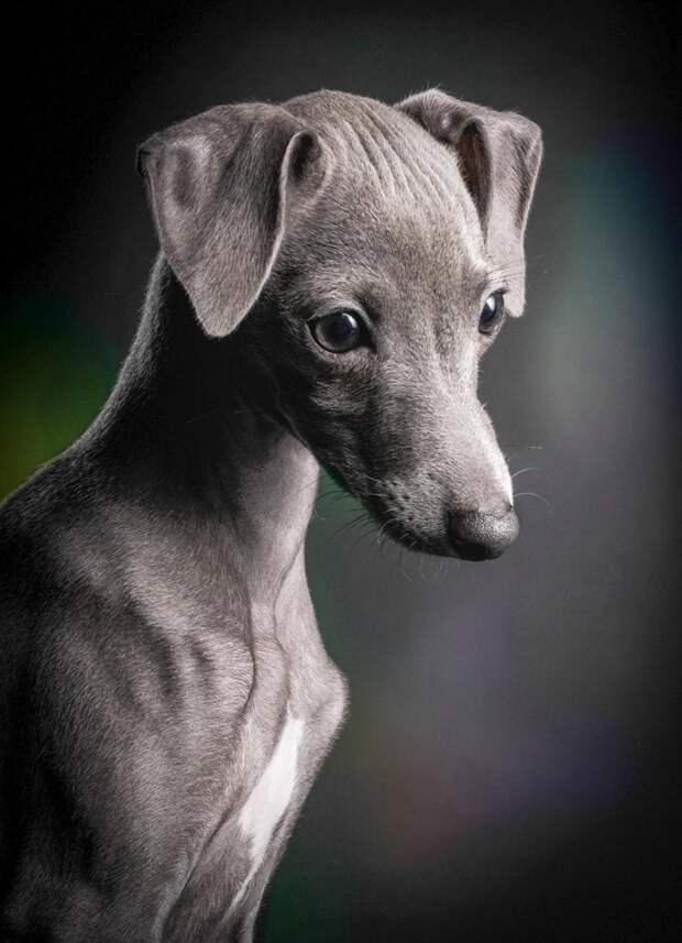 Победитель в категории «Щенки» великобритания, животные, интересное, конкурс, собака, собаки