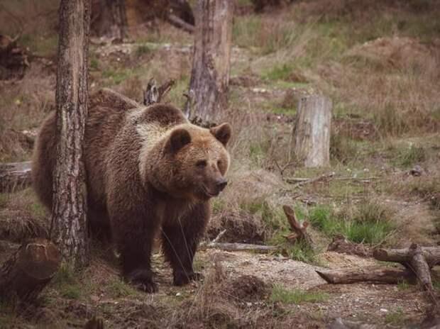 Медведь растерзал подростка под Красноярском: «Не было головы и ног»