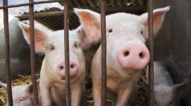 В Великобритании наступает «свиной апокалипсис»