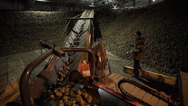 Закладка картофеля в хранилище в ООО Белая дача в Тамбовской области