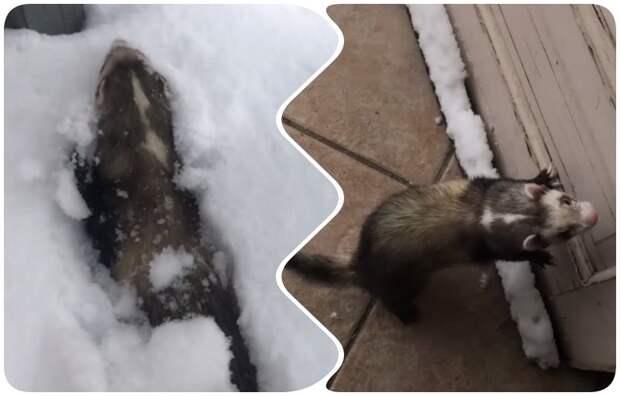 Хорек, впервые в жизни увидевший снег, заигрался и вошел во вкус видео, животные, снег, фото, хорек
