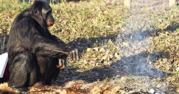Эта обезьяна умеет разжечь огонь и приготовить себе еду. Смотрите видео