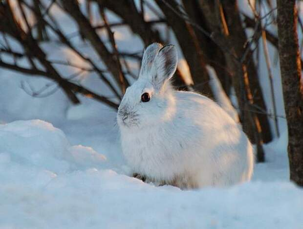 Заяц-беляк.