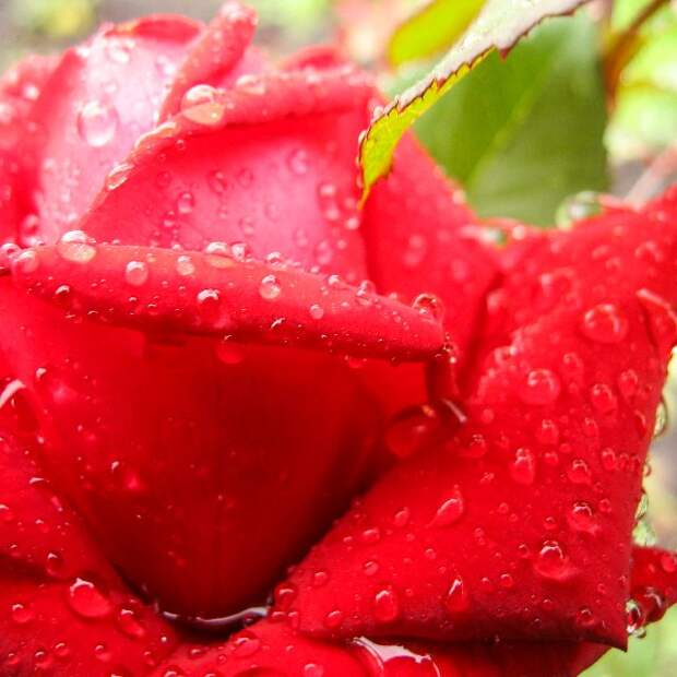 Календарь ухода за розами