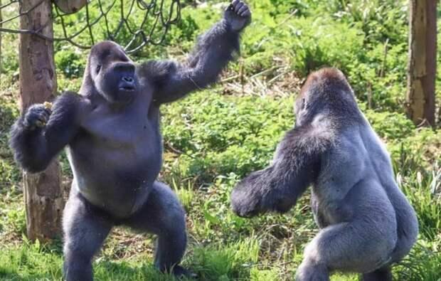 Учёные выяснили, зачем самцы горилл бьют себя в грудь
