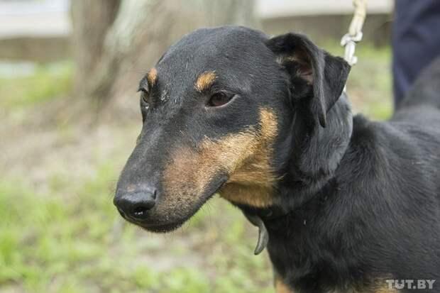 Ягдтерьер поправляется и ищет хозяина ветеринар, животные, история, спасение