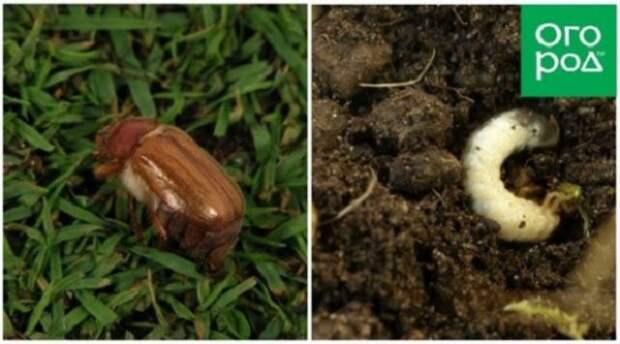 личинки хруща