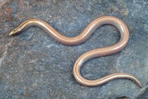 Безногие ящерицы: они выглядят как змеи, но почему их относят к ящерицам