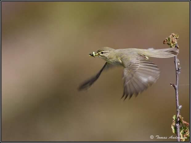 Томас Андерссон снимает красивых птиц Швеции
