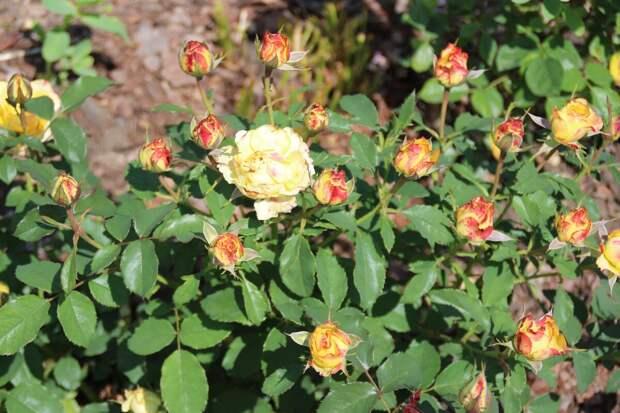 Кусты роз на моём участке.