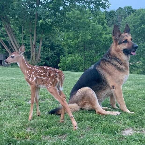 Овчарка ухаживает за осиротевшими оленятами