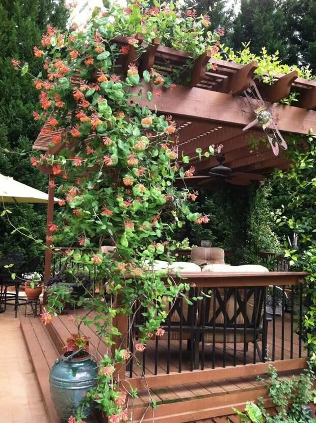 19 прекрасных вьющихся растений для пергол и беседок