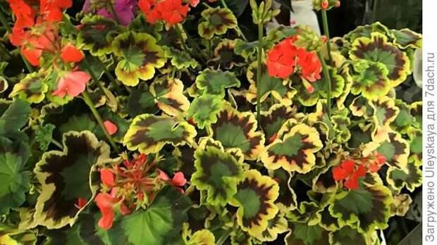 Пеларгония зональная, пестролистная, фото сайта www.youtube.com