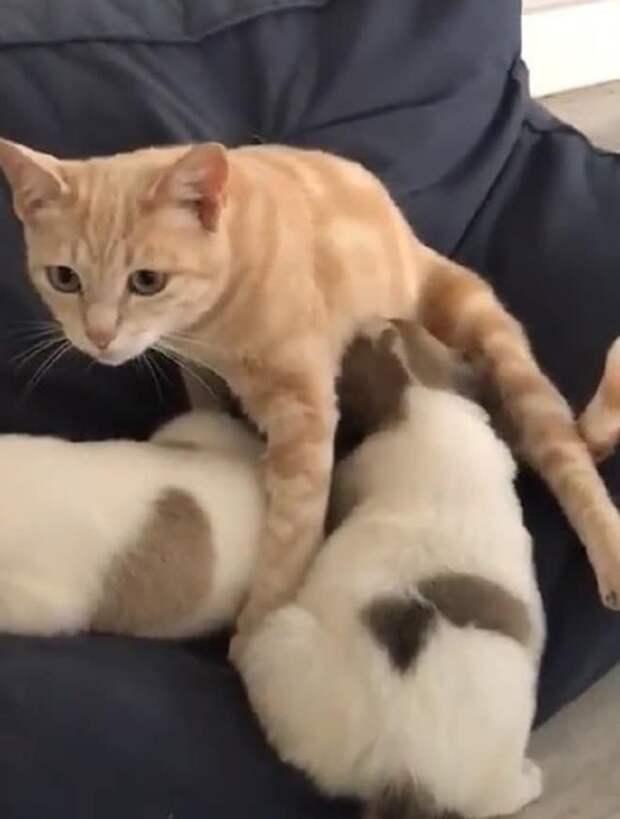 Кошечка потеряла котят и загрустила. И тут в приюте появились крохотные щенки, нуждавшиеся в заботе и молоке