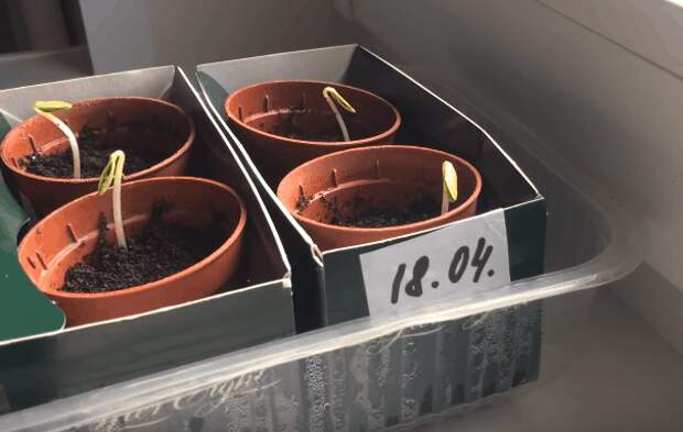 Экспресс-метод выращивания рассады огурцов: быстрее просто не бывает