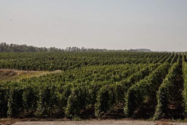 Владимир Гончаров рассказал журналистам, сколько стоит выращенное на донской земле вино, почему так дорого, зачем оно ростовчанам и туристам