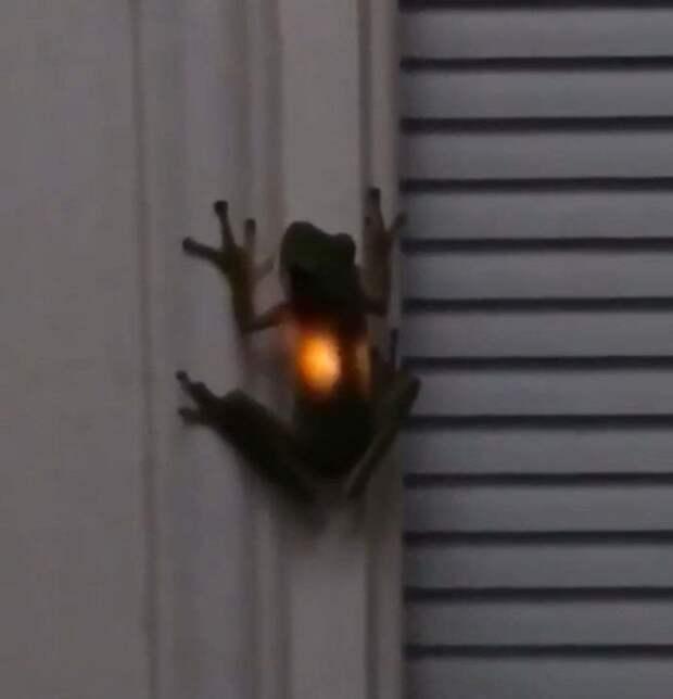 лягушка проглотила светлячка
