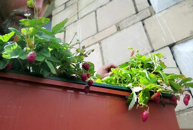 Огород на балконе и подоконнике