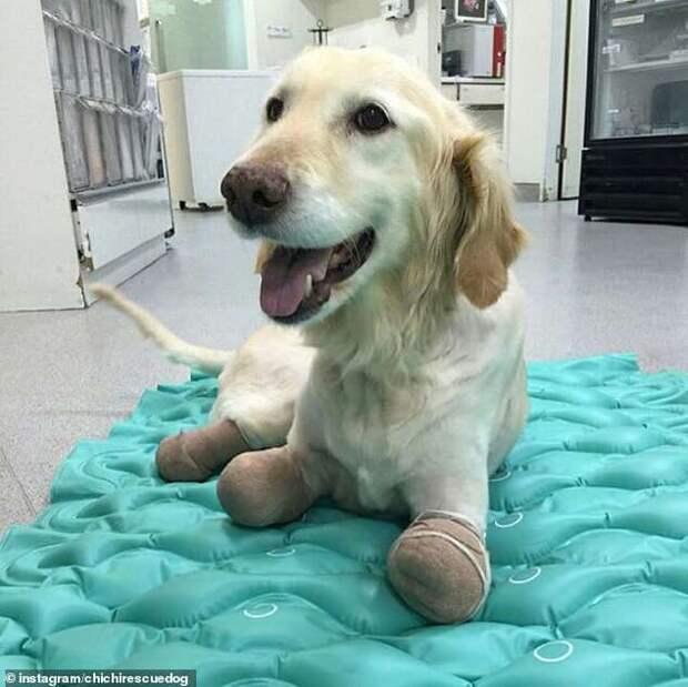 Он потерял все четыре лапы и теперь помогает людям, потерявшим руки или ноги!