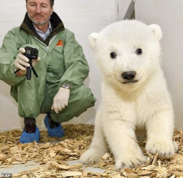 Первые уроки плавания белого медвежонка из берлинского зоопарка