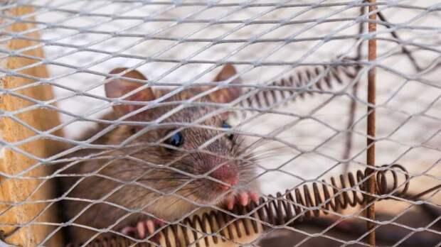 Ученые определили, какие эмоции испытывают мыши, когда видят страдающими своих сородичей