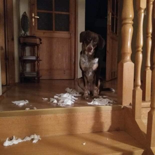 На месте преступления виноватые собаки, животные, собака раскаивается, собаки