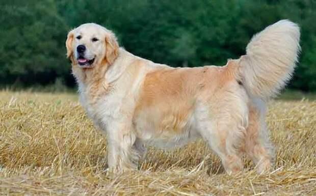 Обожаю ретриверов! Ведь собаки этой породы не только добряки, но и красавцы