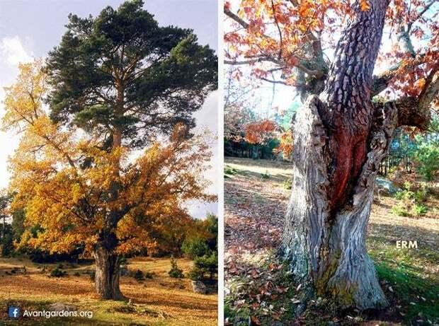 Вероятно, это сделала давно умершая белка Фотография, Интересное, Дерево, Дуб, Сосна