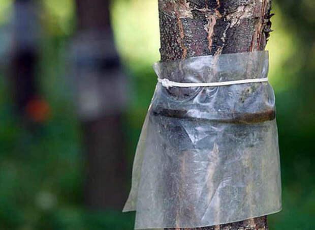 Ловчий пояс для деревьев: зачем он нужен и как его изготовить