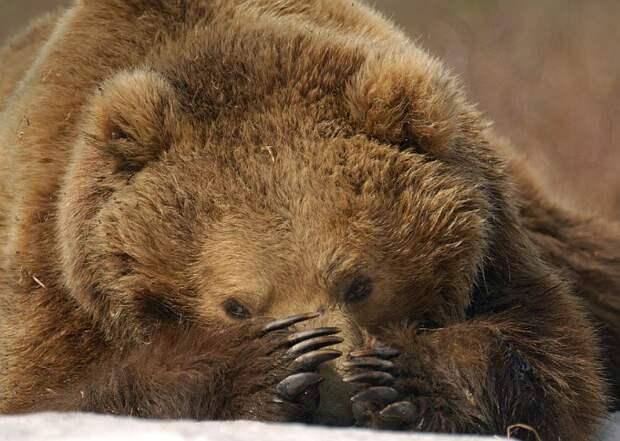 Бурый медведь