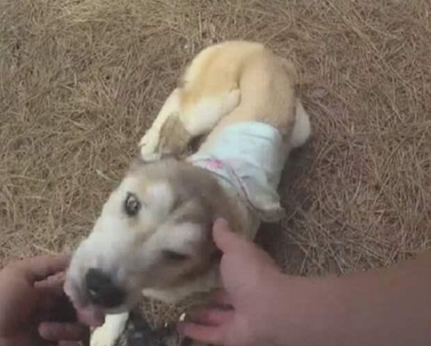 Собака с повязкой