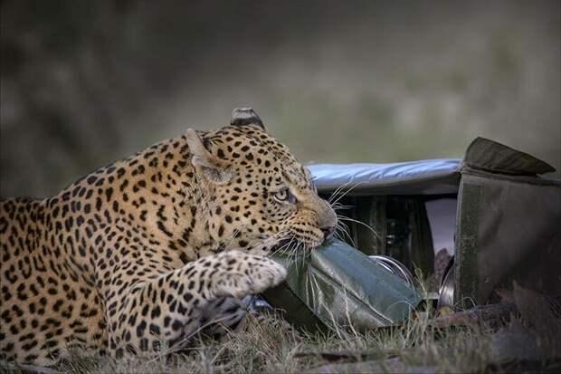 Наливай! Фотограф сделал уникальные фото леопарда, который кажется готов выпить