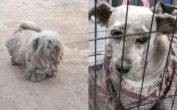 С бродячей собаки состригли 3,5 кг шерсти