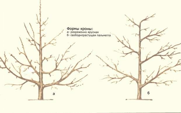 форма кроны дерева груши