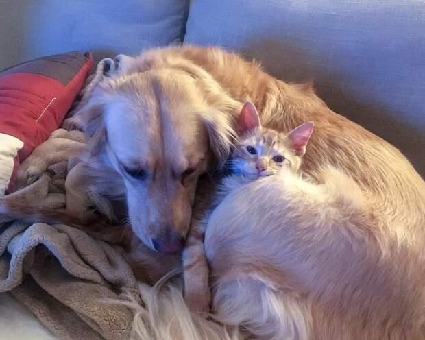 собака отдыхает с котенком