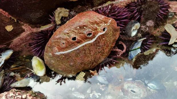 Морское ухо: Тот, кого мы едим, кем лечимся, кого носим на теле