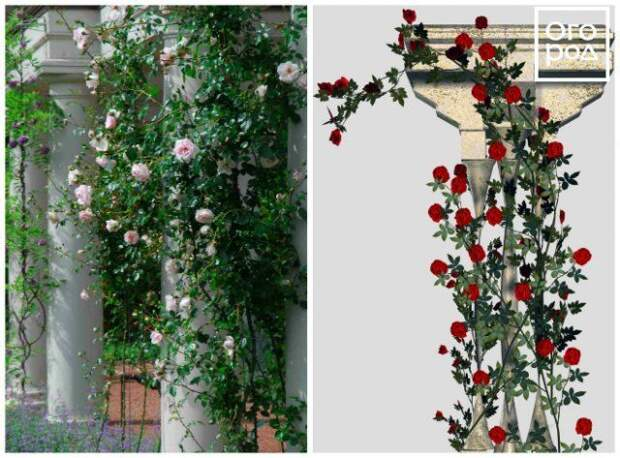 формировка плетистых роз вокруг столба