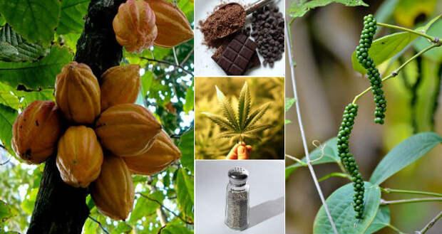 6 растений кроме конопли, в которых тоже есть каннабиноиды