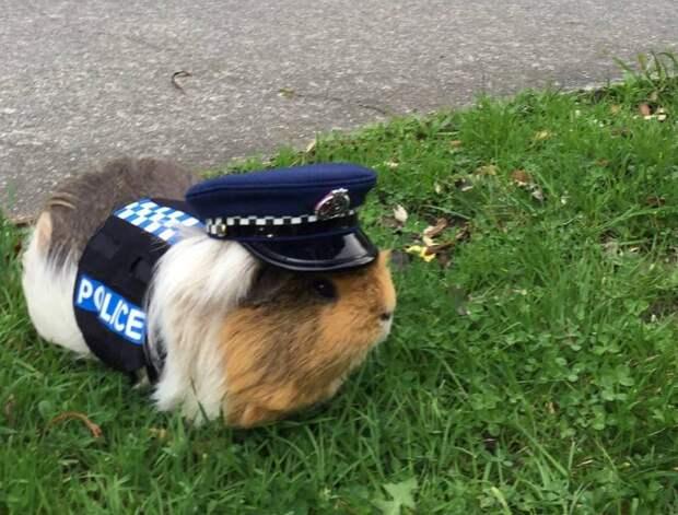 В Новой Зеландии морская свинка в форме полицейского напомнила о внимании на дорогах