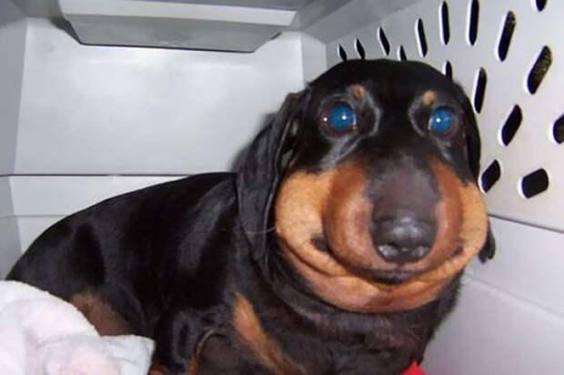 7 грустных, но очень смешных фото собак, которых укусила оса