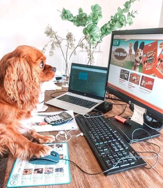 В Instagram появился забавный аккаунт, посвященный собакам, работающим дома