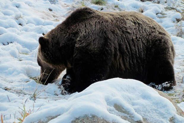 Видео: медведь в Сибири погнался за горожанином и попал под автобус