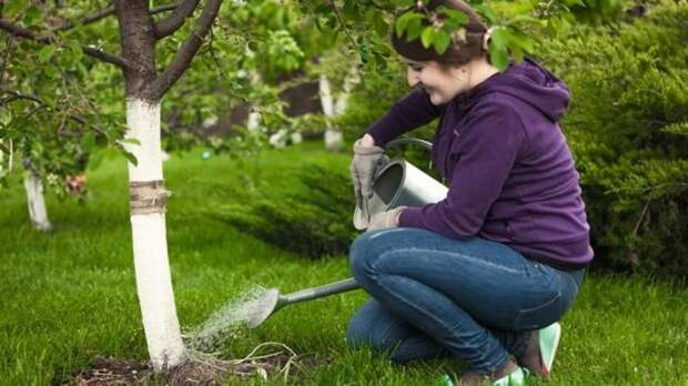 Полив и подкормка вишни