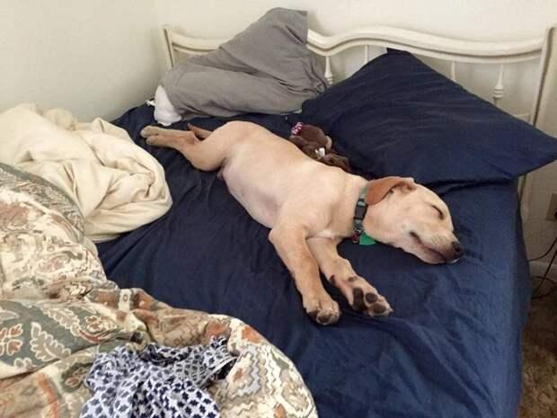 Как питомцы «отжимают» кровати у своих хозяев: 10 забавных примеров